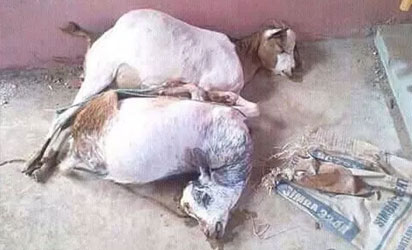 Two goats raped to death by man in Kenya